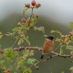 Stonechat Lossie estuary 18 Sep 2017 David Main P