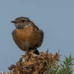 Stonechat, Lossie estuary 19 Aug 2015 (David Main)