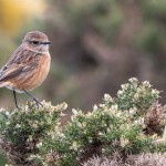 Stonechat, Lossiemouth east beach 29 Mar 2016 (David Main)