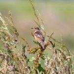 Stonechat Mosset Burn 5 Jul 2017 Gordon Biggs