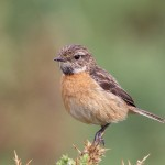 Stonechat female, Findhorn 29 July 2016 (Richard Somers Cocks)