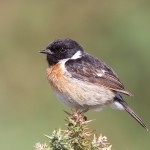 Stonechat male, Findhorn 29 July 2016 (Richard Somers Cocks)