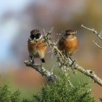 Stonechats Dunearn 3 Nov 2017 Alison Ritchie