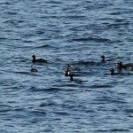 Surf Scoter Burghead Bay 10 Oct 2014 Martin Cook 2