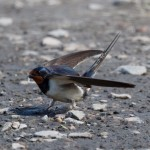 Swallow, Burghead 22 Jul 2016 (Tony Backx) P
