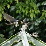 Swallows Clochan 16 Sep 2017