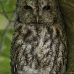 Tawny Owl Altyre 16 May 2018 Mike Crutch