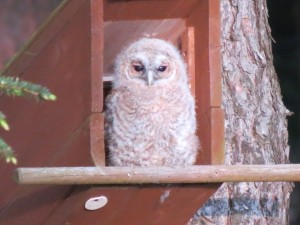 Tawny Owl, Mayne 19 May 2014 (Mike Murray)