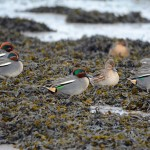 Teal, Lossie estuary 1 Jan 2015 (Gordon Biggs)
