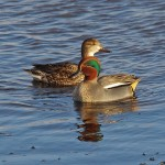 Teal, Lossie estuary 12 Jan 2015 (Tony Backx)