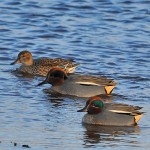 Teal, Lossie estuary 30 Jan 2015 (Gordon Biggs)