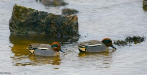 Teal, Lossiemouth 24 Jan 2014 (David Main)