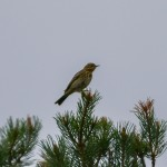 Tree Pipit Meikle Hill Dallas 5 May 2014 David Main