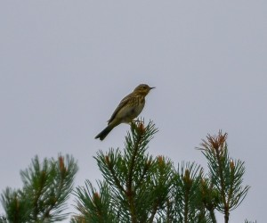Tree Pipit, Meikle Hill (Dallas) 5 May 2014 (David Main)