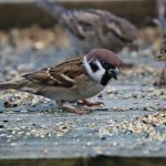 Tree Sparrow Clochan 11 Nov 2017 Martin Cook 2P