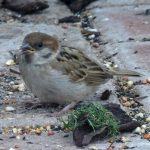 Tree Sparrow Forres 24 Jun 2017 Alison Ritchie