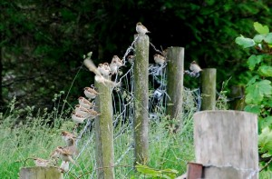 Tree Sparrows, Auchanhandoch 25 June 2014 (Fiona McHugh)
