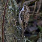 Treecreeper Loch Spynie 15 Dec 2016 Jack Harrison