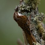 Treecreeper Loch Spynie 19 May 2013 David Main