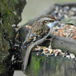 Treecreeper, Loch Spynie 7 Jan 2015 (Gordon Biggs)