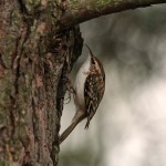 Treecreeper Lossie Forest 27 Nov 2013 Gordon Biggs