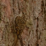 Treecreeper, Torrieston wood 22 Jul 2015 (David Main)