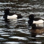 Tufted Duck Cooper Park Elgin 29 Dec 2012 Bob Proctor1