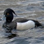 Tufted Duck Elgin 16 Mar 2017 Jack Harrison