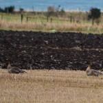 Tundra Bean Geese Portknockie 23 Jan 2014 Lenny Simpson 1