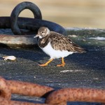 Turnstone Burghead 15 Jan 2013 Gordon Biggs