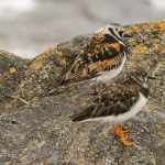 Turnstone Burghead 23 Jul 2017 David Main