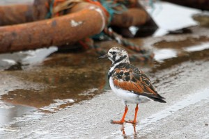 Turnstone, Burghead 24 Apr 2014 (Gordon Biggs)