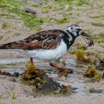 Turnstone Burghead 27 Apr 2017 Tony Backx P