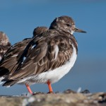 Turnstone Burghead 3 Apr 2013 Margaret Sharpe