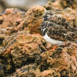 Turnstone, Lossiemouth 13 Aug 2014 (David Main) 1