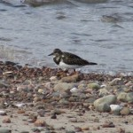 Turnstone, Nairn 30 Sept 2014 (Brian Sheldon)