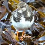 Turnstone Portgordon 6 December 2017 Nick Mellor