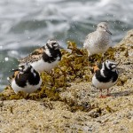 Turnstones Burghead 2 Aug 2016 Tony Back P