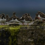 Turnstones Burghead 6 Apr 2014 David Main