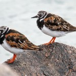 Turnstones Burghead 8 Aug 2013 Gordon Biggs 1