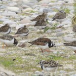 Turnstones Findhorn 21 May 2013 Richard Somers Cocks