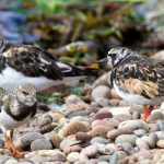Turnstones Findhorn 6 Sep 2016 Richard Somers Cocks P