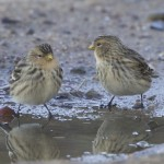 Twite Burghead 1 Nov 2012 Richard Somers Cocks