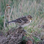Twite Burghead 1 Nov 2012 Tony Backx Paint