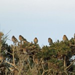 Twite Netherton 20 Mar 2013 Gordon Biggs 2