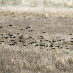 Twite Netherton 9 Mar 2013 Gordon Biggs