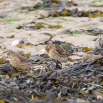 Twite and Linnet Findhorn 27 Feb 2015 Richard Somers Cocks