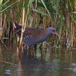 Water Rail Loch Spynie 12 Oct 2012 Gordon Biggs 2