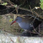 Water Rail Loch Spynie 15 Oct 2013 Gordon Biggs 1