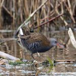 Water Rail Loch Spynie 16 Dec 2016 Gordon Biggs P